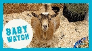 LIVE: Baby Goat Watch!   Goats of Anarchy
