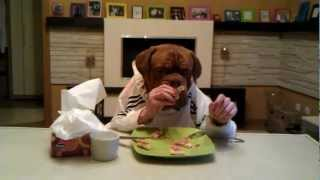 Dogue De Bordeaux Agramerbordog Pegaz Eats Pizza Using Fork And Knife :)