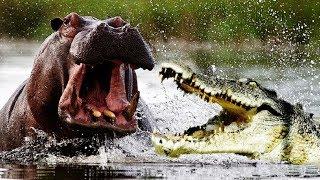 【野生動物の戦い】動物vsワニ 勝つのはどっち?
