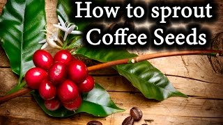 Indoor Coffee Bean Plants: How to sprout Coffee Seeds