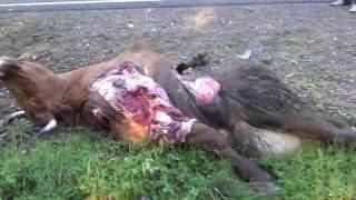 Сбил корову. Кто виноват водитель или хозяин коровы? Аварии.