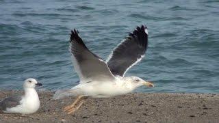 Gaviota sombría (Larus fuscus, Lesser Black-backed Gull)