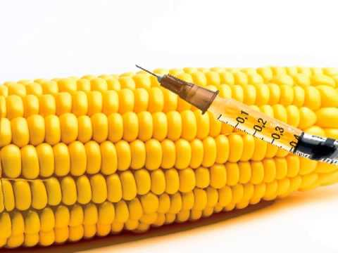 Biotech lies exposed Genetically-modified corn contains practically no nutrients