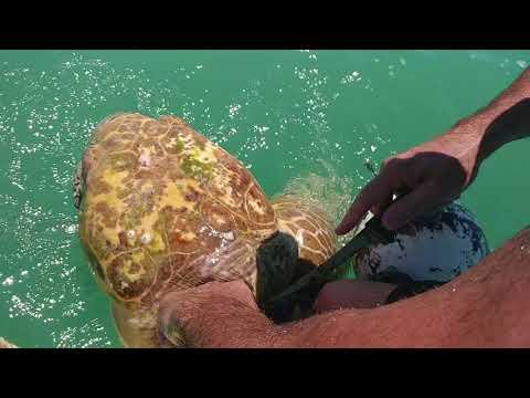 Sea turtle rescue in Islamorada, Florida