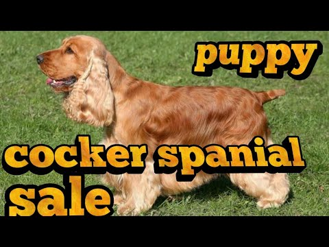 American cockar spanial  puppy for sale
