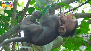 Seriously weaning make RITO baby fall down from high tree|Pity baby crying loudly|Monkey Daily822