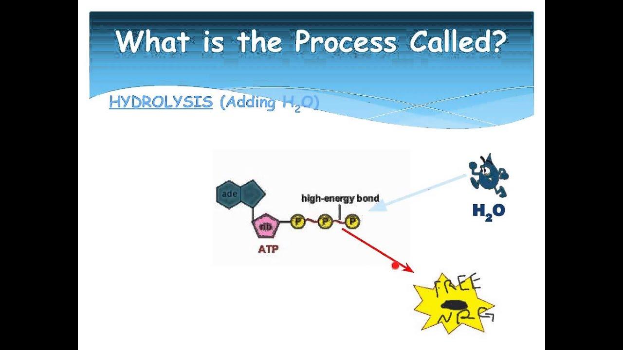 ATP-ADP Cycle