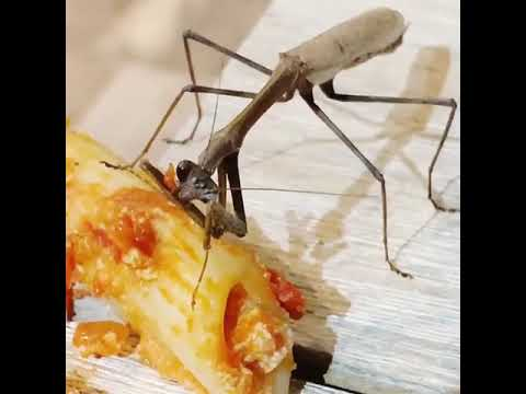 Aaron - Praying Mantis Eats Pasta