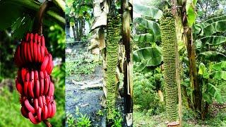 Aneh Tapi Nyata Pohon pisang ajaib Pisang Bertandan Unik
