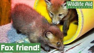 Our tiny fox cub gets a friend!