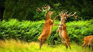 হারিয়ে যাচ্ছে বল্গা হরিণ | Threatened Animal Beautiful Reindeer | Stop Hunting Beautiful Animals