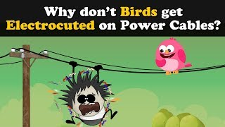 Why don't Birds get Electrocuted on Power Cables? | #aumsum