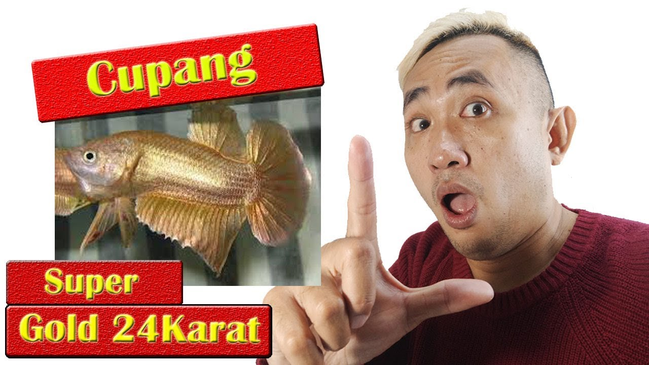 Ikan Hias Cupang Super Gold 24 Karat - YouTube