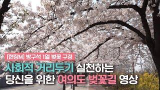 [현장M] 방구석 1열 벚꽃 구경_여의도 벚꽃길 영상