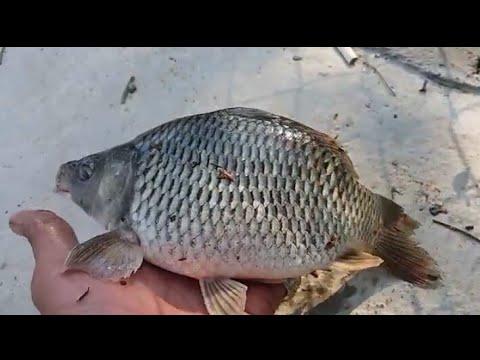 Cara Bedakan Ikan Nila Jantan Dan Betina Youtube