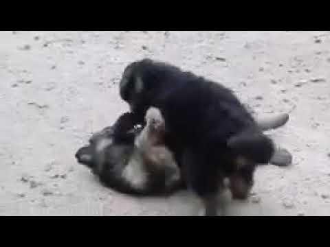 German Shepherd Dogs Puppies Delhi India 9999039993 Youtube