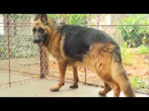 Bán chó becgie đức 19 tháng
