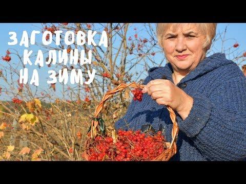 Вопрос: Можно ли сохранить калину, если жук-листоед уничтожил все листья?