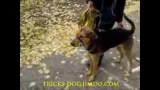 почему собака вас не слушается? why a dog you don't mind(Собака вас не слушается, что делать?, начинаем с правил и ограничений...посмотрев этот видео-урок можно выпис..., 2013-10-12T14:16:47.000Z)