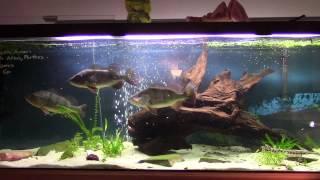 feeding our 125 gallon predator tank