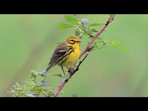 Prairie Warbler singing and nest building in Connecticut