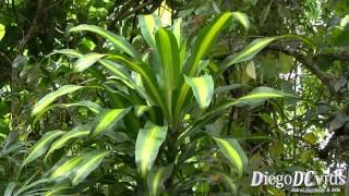 Dracaena fragrans - cornstalk dracaena - Dracena - Dragoeiro (Nolinoideae)