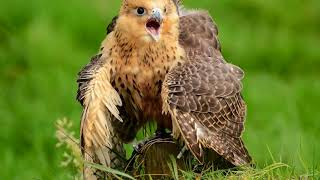 Голоса птиц Как поёт Сокол (Falco)