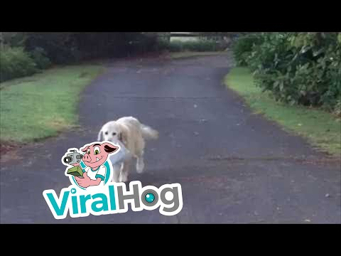 Golden Retriever Brings the Newspaper