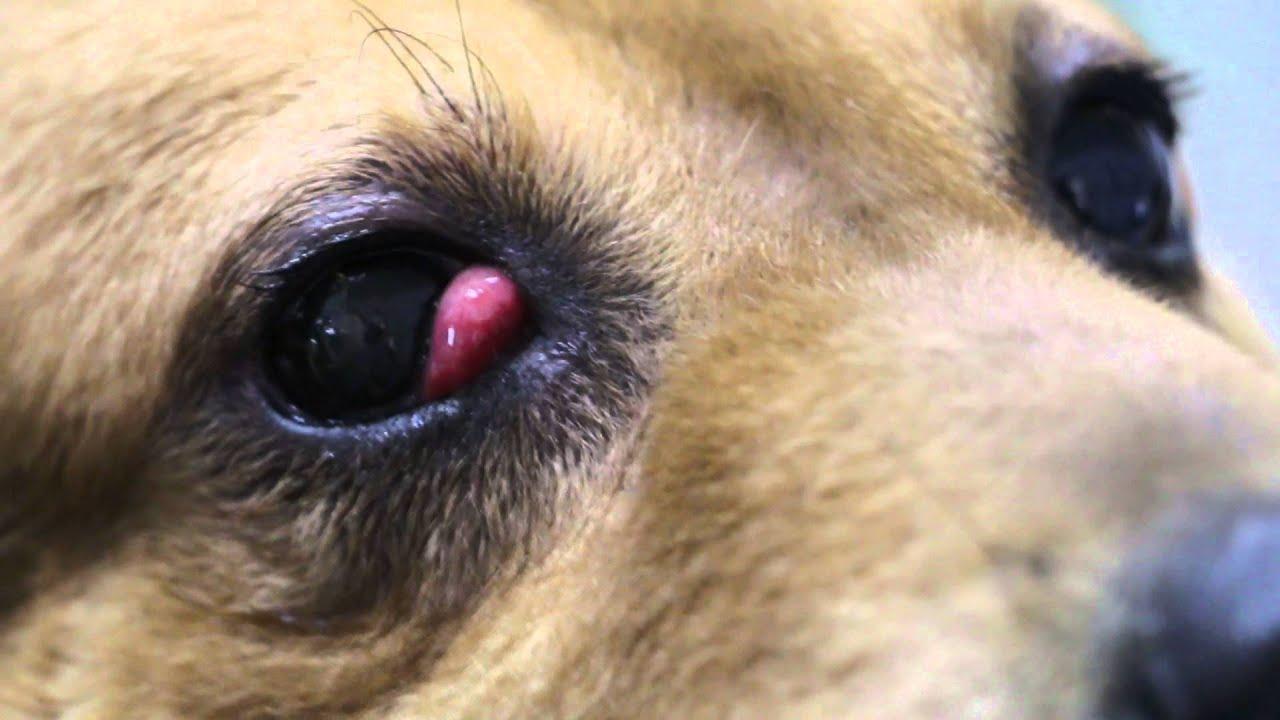 Cherry eye, wypadnięty gruczoł trzeciej powieki. Co to? Jak leczyć?