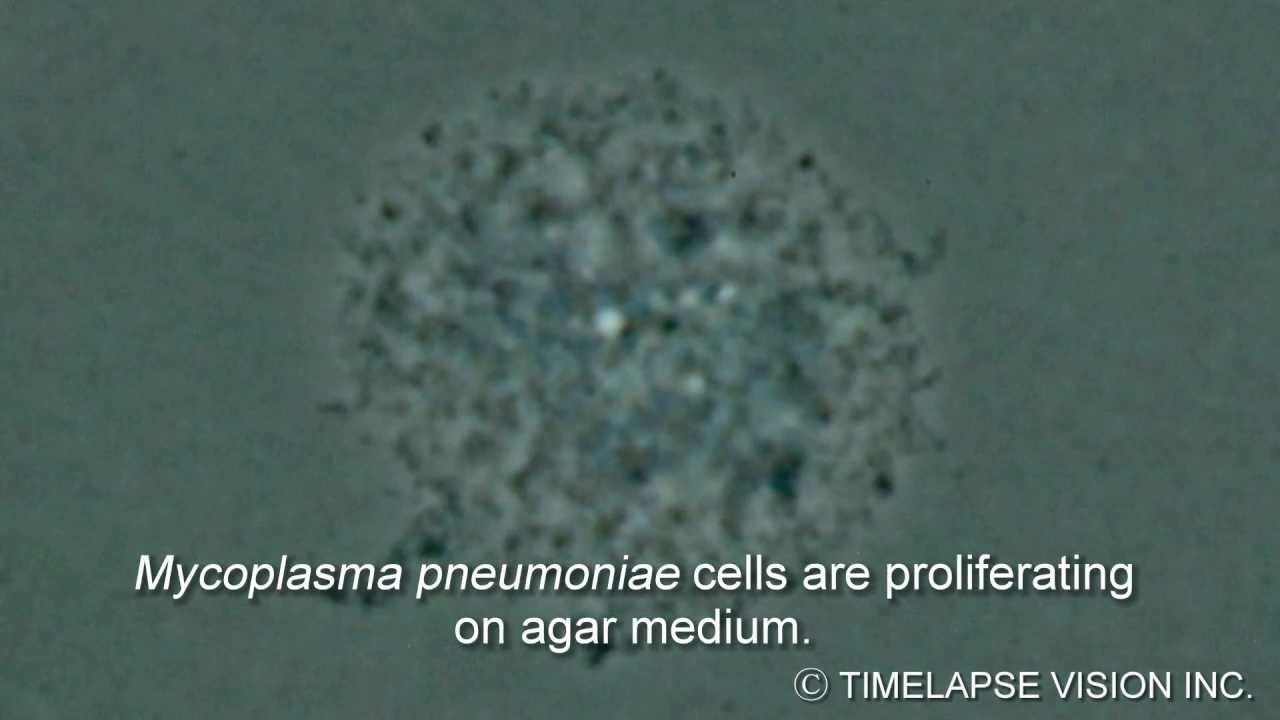 mycoplasma pneumoniae Mycoplasma pneumoniae is a common cause of community-acquired pneumonia (cap), and the disease usually has a prolonged, gradual onset m pneumoniae was.