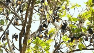 柬埔寨 狐蝠
