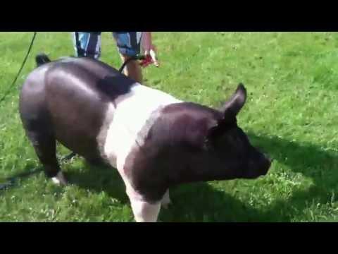Homemade 45-1 Hampshire Boar