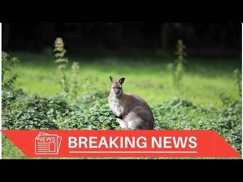 [Breaking News] Police Chase a Wayward Wallaby Across Sydney Harbor Bridge