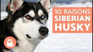 10 raisons pour lesquelles le Husky est un chien extraordinaire :