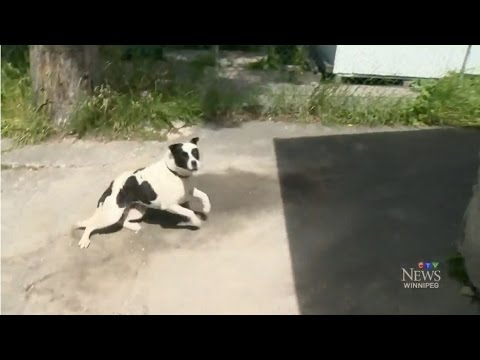 Aggressive dogs charge at CTV reporter, camera