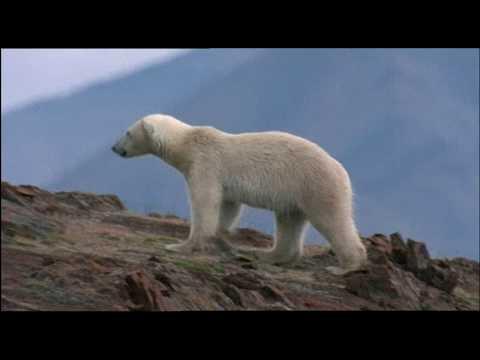 Polar Bear Hunting For Survival