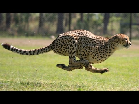 10 of the world's FASTEST ANIMALS! (Fastest on planet Earth ever – air, land & sea speed records!)