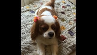 Cutest King Charles Spaniel Playing