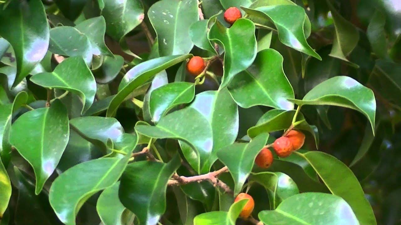 Ficus benjamina ficus benjamina for Tipos de arboles y caracteristicas