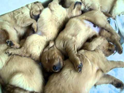 Golden Retriever Pups Let Sleeping Puppies Sleep 5 1 2