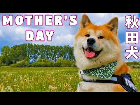 AKITA INU - The Mother's Day Gift From A Japanese Dog | 秋田犬 | 母の日