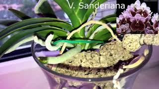 Орхидея ванда, август 2019 (обзор растений). Цветонос!!