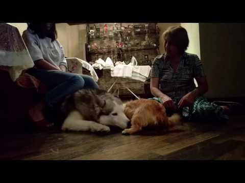 Norwich terrier loves husky
