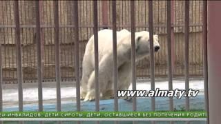 День белого медведя в зоопарке Алматы