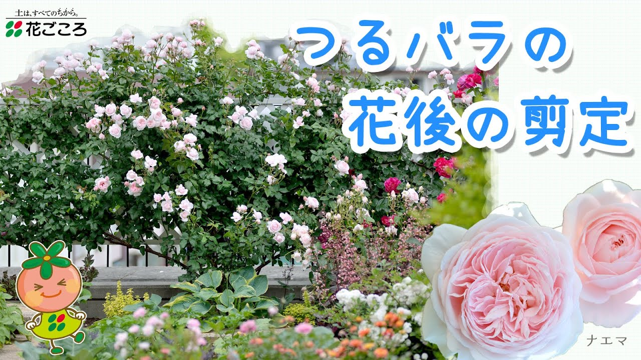 つる バラ の 剪定