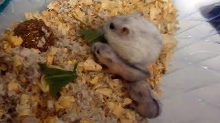 Как выглядят хомячки джунгарики в 2 недели от рождения