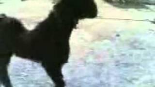 Nachi Goat . H.Abdul Qadir.4.FLV