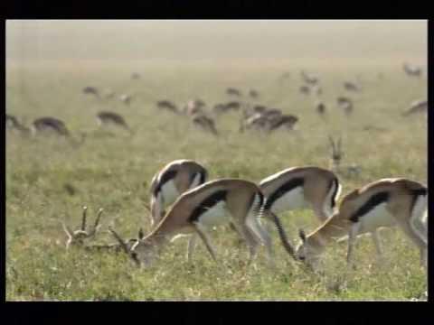 110km/h Cheetah attack gazelle