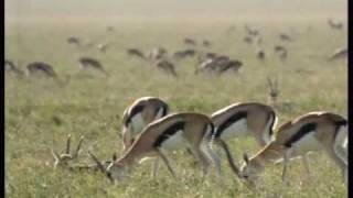 110km/h Cheetah attack gazelle