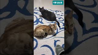 식빵 굽는 고양이 레오와 파드  #고양이#뱅갈고양이#식…
